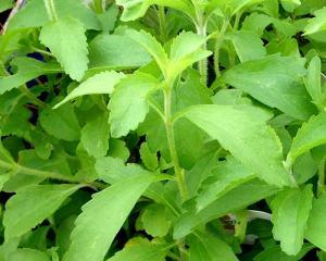 stevia1